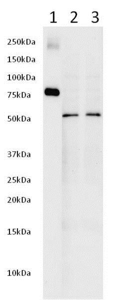 Western blot - Anti-AKT1 antibody [9A4] (ab89402)