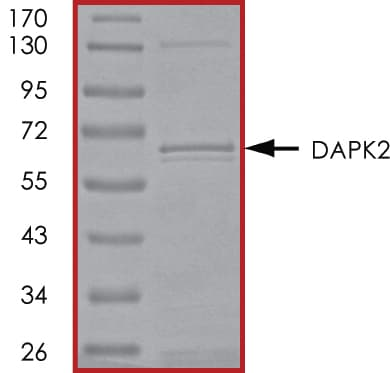 SDS-PAGE - Recombinant human DAPK2 protein (ab89742)
