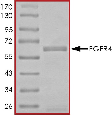 SDS-PAGE - Recombinant human FGFR4 protein (ab89754)
