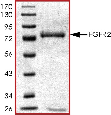 SDS-PAGE - Recombinant human FGFR2 protein (ab89755)