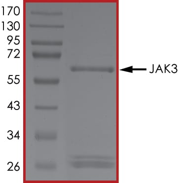 SDS-PAGE - Recombinant human JAK3 protein (ab89756)