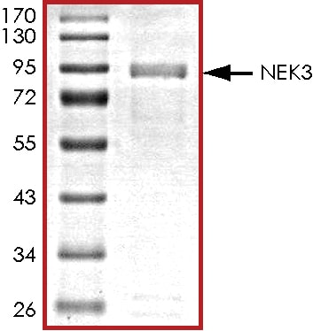 SDS-PAGE - Recombinant human NEK3 protein (ab89758)
