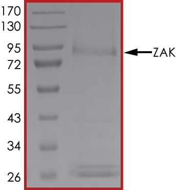 SDS-PAGE - Recombinant human ZAK protein (ab89852)