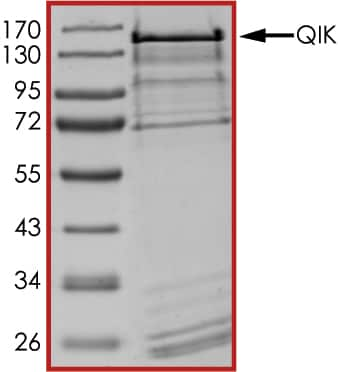 SDS-PAGE - Recombinant human SIK2 protein (ab89856)