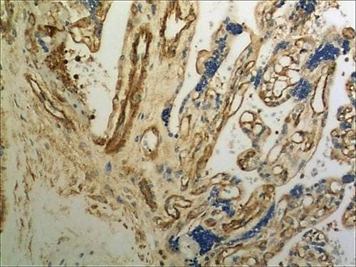 Immunohistochemistry (Formalin/PFA-fixed paraffin-embedded sections) - Anti-Orexin B antibody [MM0501-5G21] (ab89888)