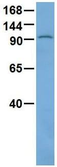 Western blot - Anti-TRAK1 antibody (ab89962)
