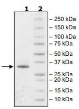 SDS-PAGE - Recombinant human JAK3 protein (ab89982)