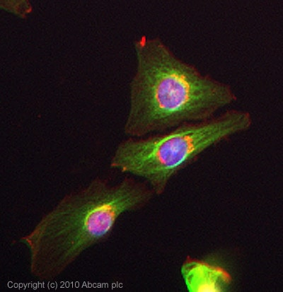 Immunocytochemistry/ Immunofluorescence - Anti-alpha Tubulin antibody - Loading Control (ab89984)