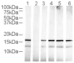 Western blot - Anti-Histone H3 (mono methyl K36) antibody - ChIP Grade (ab9048)