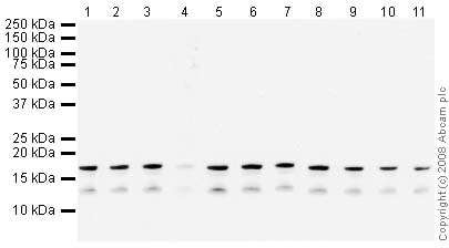 Western blot - Anti-Histone H3 (di methyl K36) antibody - ChIP Grade (ab9049)