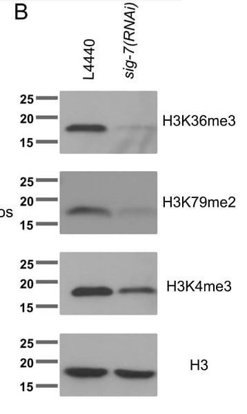 Western blot - Anti-Histone H3 (tri methyl K36) antibody - ChIP Grade (ab9050)