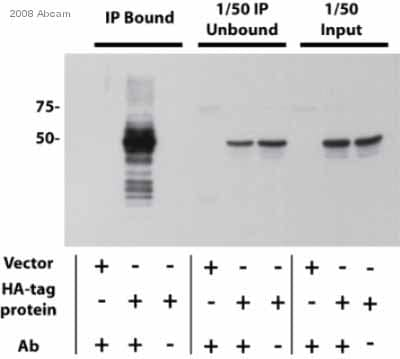 Immunoprecipitation - Anti-HA tag antibody - ChIP Grade (ab9110)