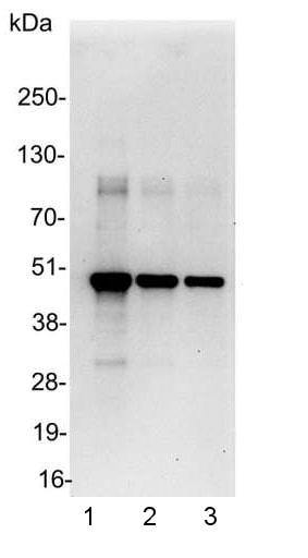 Western印迹-抗-myc标签抗体-芯片级(AB9132)