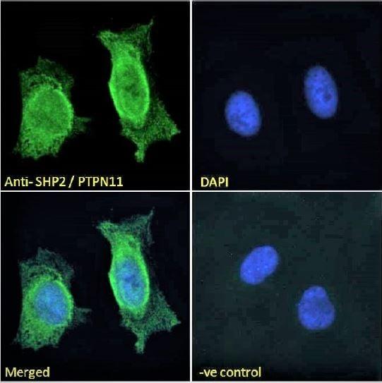 Immunocytochemistry/ Immunofluorescence - Anti-SHP2 antibody (ab9214)