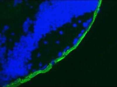 Immunohistochemistry (Frozen sections) - Anti-Cytokeratin 19 antibody [RCK108] (ab9221)