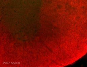 Immunohistochemistry (Frozen sections) - Anti-Myelin PLP antibody [plpc 1] (ab9311)