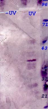 Western blot - Anti-Phosphothreonine-X-Phosphotyrosine antibody (HRP) (ab9342)