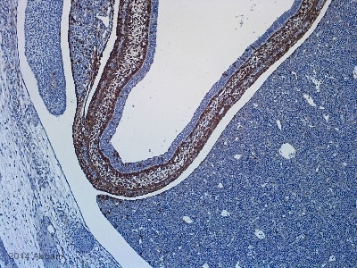 Immunohistochemistry (Formalin/PFA-fixed paraffin-embedded sections) - Anti-beta Galactosidase antibody (ab9361)