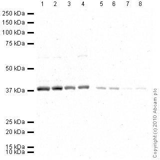 Western blot - Anti-GAPDH antibody - Loading Control (HRP) (ab9385)