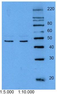 Western blot - Anti-Cytokeratin 18 antibody [DEK-18] (ab9387)