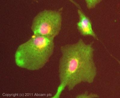 Immunocytochemistry/ Immunofluorescence - Anti-GAPDH antibody - Loading Control (ab9483)