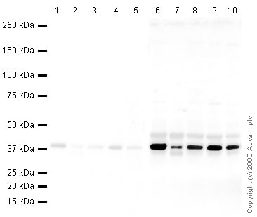 Western印迹-抗GAPDH抗体[MABCAM 9484 ]负荷控制(AB948)