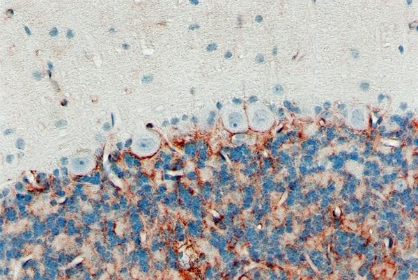 Immunohistochemistry (Formalin/PFA-fixed paraffin-embedded sections) - Anti-Aquaporin 4 antibody [4/18] (ab9512)