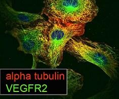 Immunocytochemistry/ Immunofluorescence - Anti-VEGF Receptor 2 antibody [EIC] (ab9530)