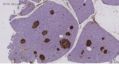 Immunohistochemistry (Formalin/PFA-fixed paraffin-embedded sections) - Anti-Insulin antibody [E2E3] (ab9569)