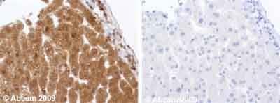 Immunohistochemistry (Formalin/PFA-fixed paraffin-embedded sections) - Anti-IGF1 antibody (ab9572)