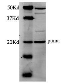 Western blot - Anti-PUMA antibody (ab9643)