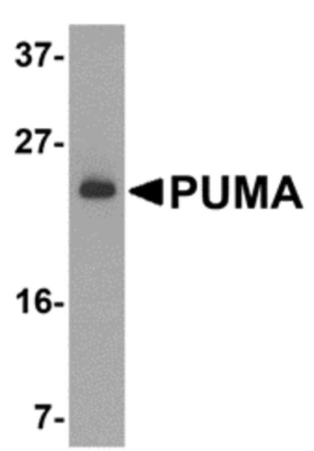 Western blot - Anti-PUMA antibody (ab9645)