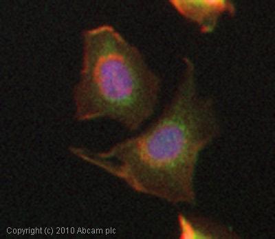 Immunocytochemistry/ Immunofluorescence - Anti-Endo G antibody (ab9647)