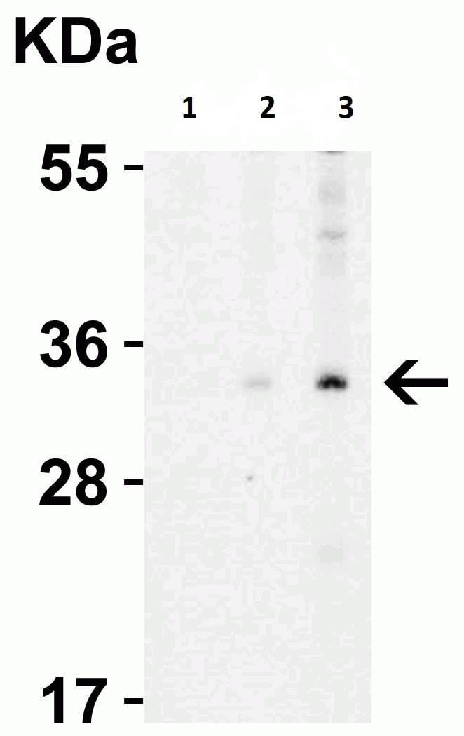 Western blot - Anti-Endo G antibody (ab9647)