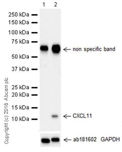 Western blot - Recombinant human Interferon gamma protein (ab9659)