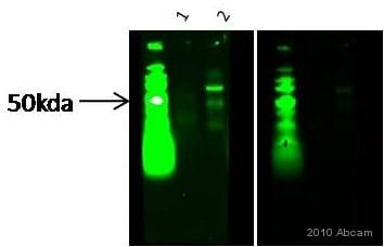 Western blot - Anti-M-CSF antibody (ab9693)