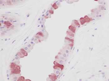 Immunohistochemistry (Formalin/PFA-fixed paraffin-embedded sections) - Anti-EGF antibody (ab9695)