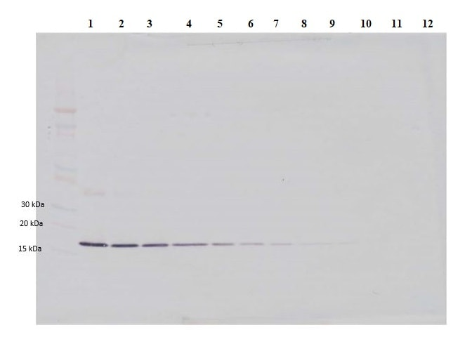 Western blot - Anti-IL-1 beta antibody (ab9722)