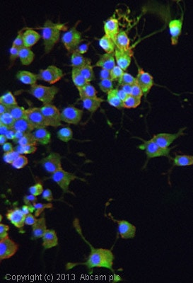 Immunocytochemistry/ Immunofluorescence - Anti-TNF alpha antibody (ab9755)