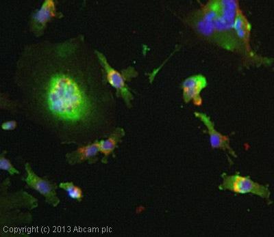 Immunocytochemistry/ Immunofluorescence - Anti-TRAIL antibody (ab9959)