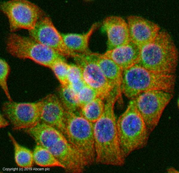 Immunocytochemistry/ Immunofluorescence - Anti-MUC2 antibody (ab90007)