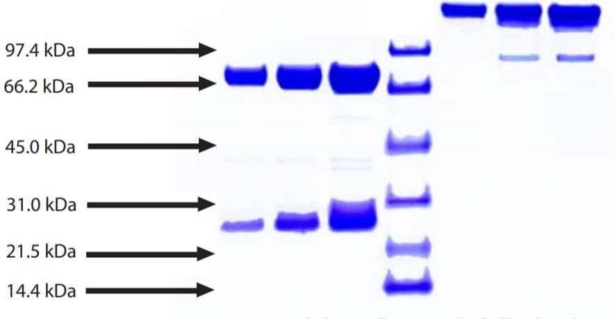 SDS-PAGE - Native Human IgE protein (ab90392)