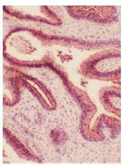 Immunohistochemistry (Frozen sections) - Anti-HO-2 antibody (ab90492)