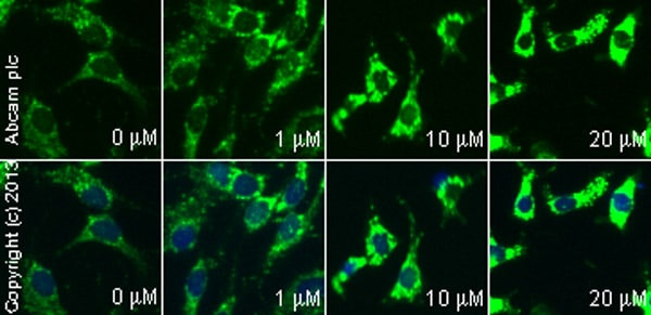 Immunocytochemistry/ Immunofluorescence - Anti-Cytochrome C antibody (ab90529)