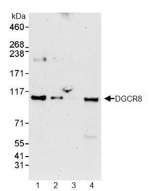 Western blot - Anti-DGCR8 antibody (ab90579)