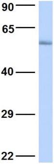 Western blot - Anti-POU3F3/Brain1 antibody (ab90727)