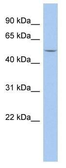 Western blot - Anti-HERV-FRD antibody (ab90733)