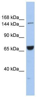 Western blot - Anti-KIF15 antibody (ab90735)