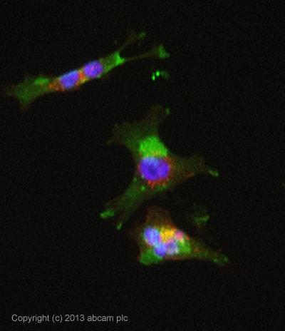 Immunocytochemistry/ Immunofluorescence - Anti-Pentraxin 3/PTX3 antibody [MNB1] (ab90806)
