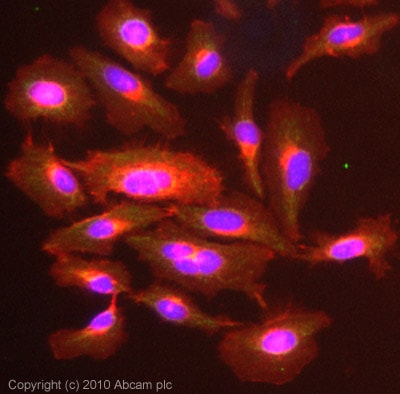 Immunocytochemistry/ Immunofluorescence - Anti-Alpha 1 microglobulin antibody (ab90819)